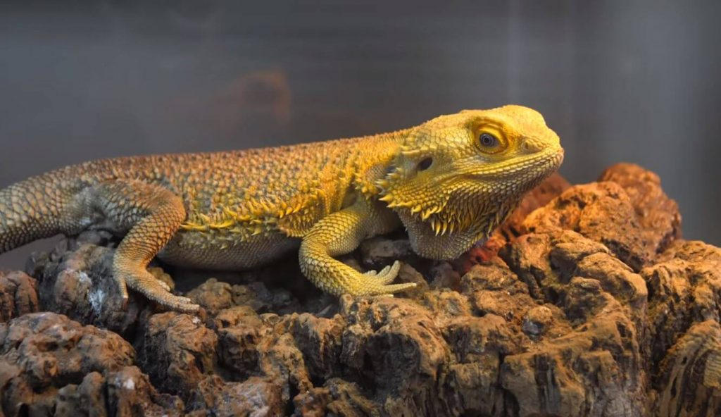 how big can a bearded dragon get