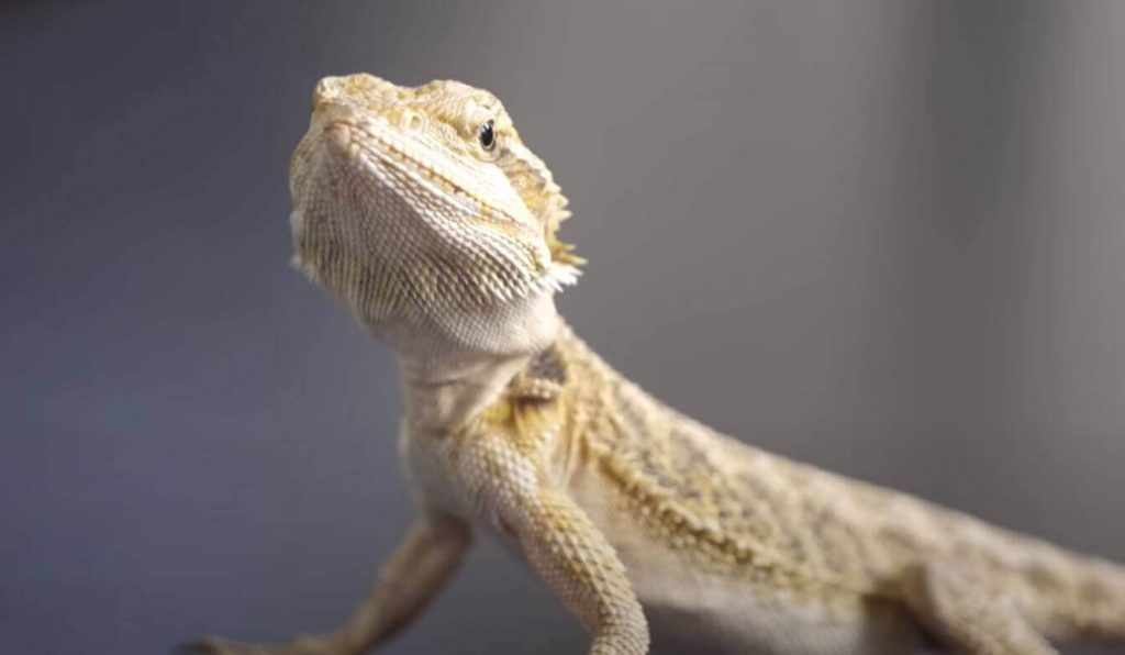 how big does a bearded dragon get