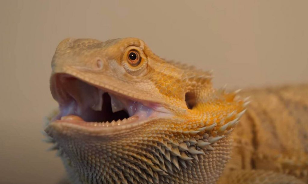 why does my bearded dragon keep hissing at me