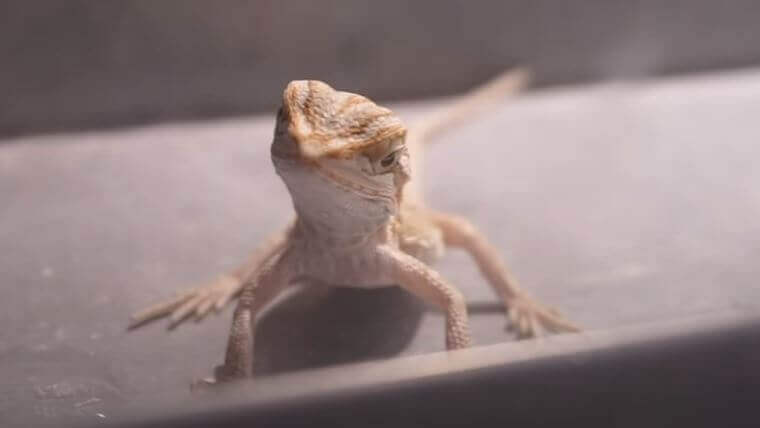 Bearded Dragon Breathing Heavy After Eating