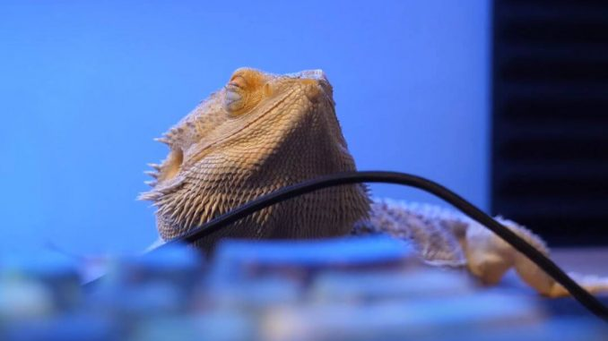 Bearded Dragon Closing Eyes When Stroked