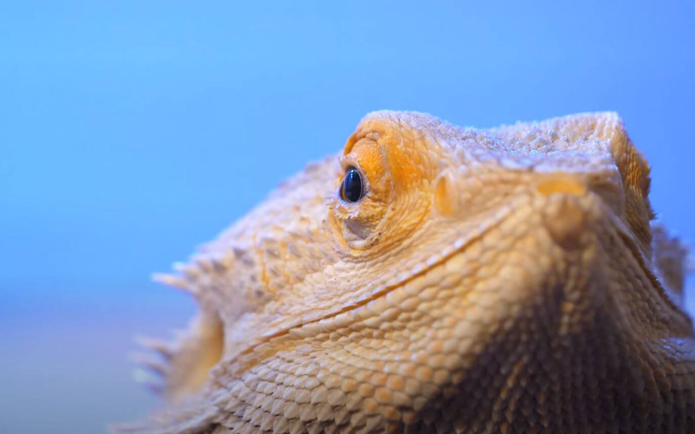 Bearded Dragon Closing Eyes a Lot