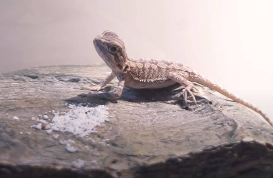 Calcium d3 For Bearded Dragons