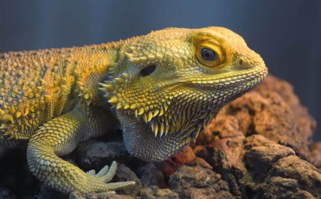 How Can You Tell If Your Bearded Dragon Is Happy