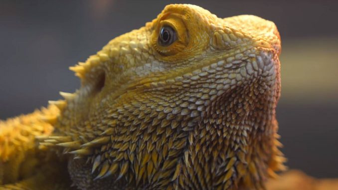 How To Tell If Your Bearded Dragon Is Happy