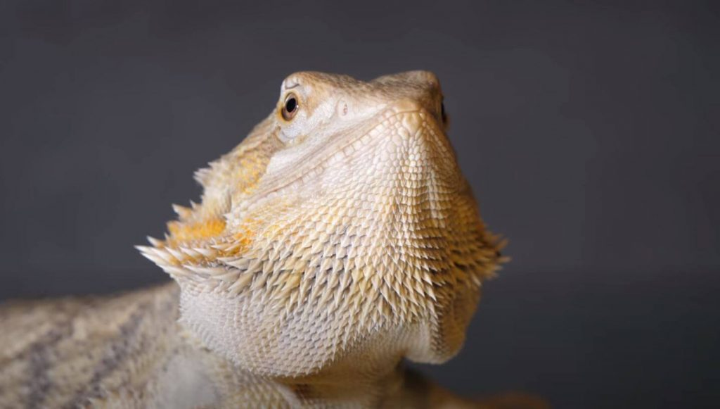 Signs Your Bearded Dragon Is Happy