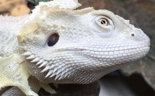 Bearded Dragon Turned White And Died