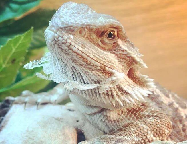 Bearded Dragon Turning White And Not Eating
