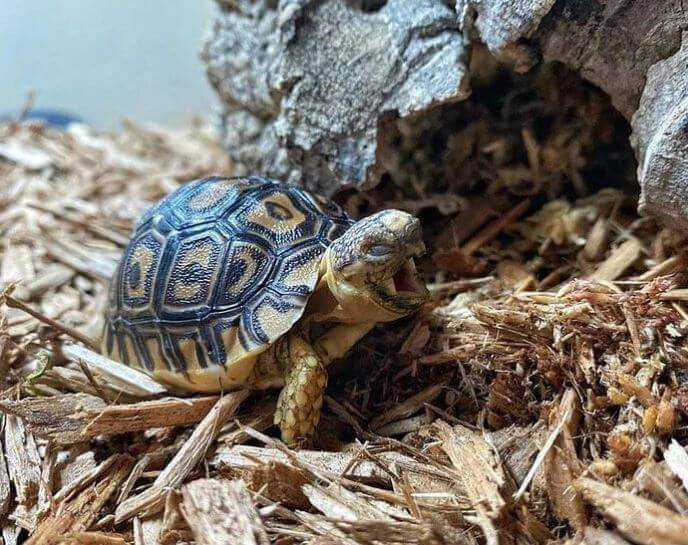Baby Leopard Tortoise Substrate