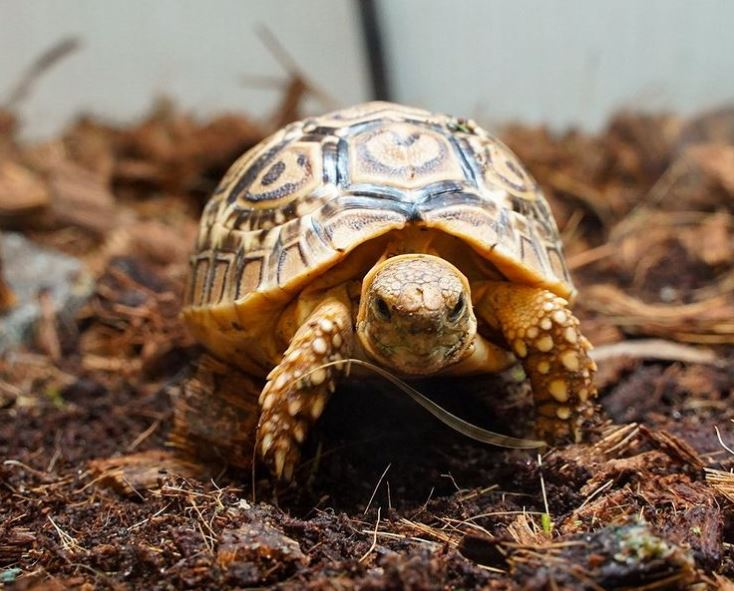 Best Leopard Tortoise Substrate
