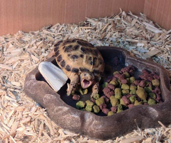 Best Substrate For Baby Russian Tortoise