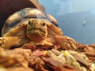 Best Substrate For Sulcata Tortoise