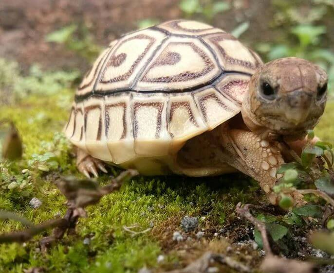 Best Substrate For a Leopard Tortoise