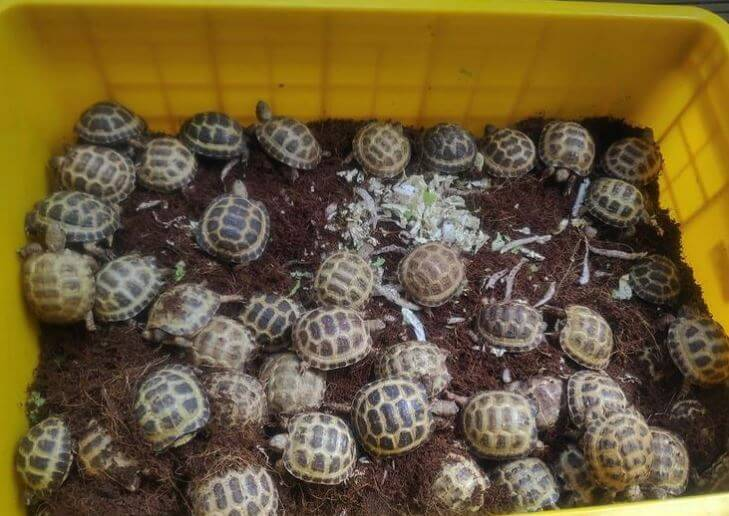 Do Russian Tortoises Substrate
