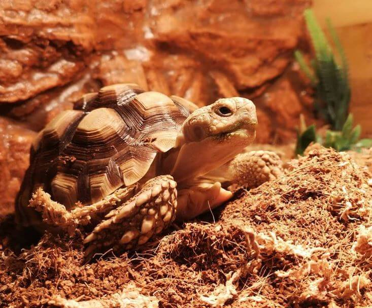 Substrate For Leopard Tortoise