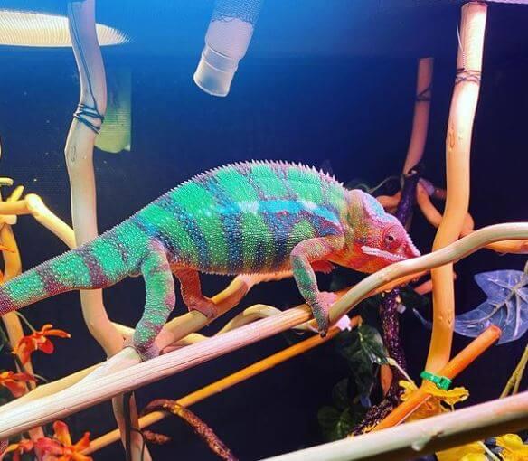 Lighting Schedule For Chameleons