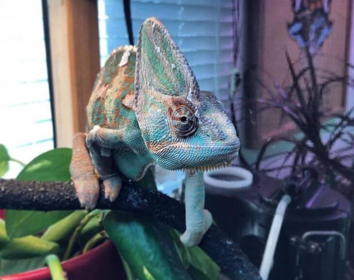 Veiled Chameleon Lighting Setup