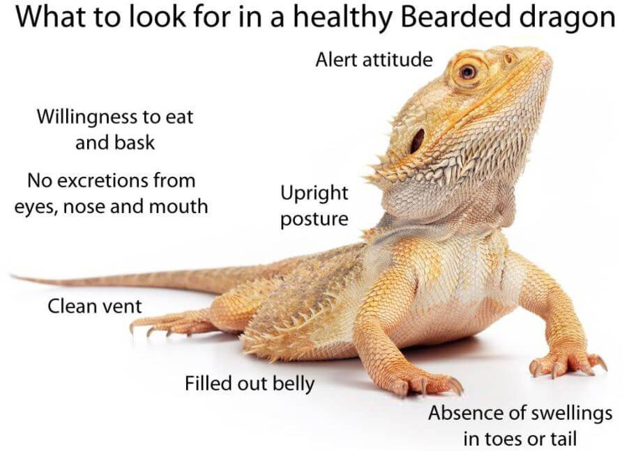 Why Does My Bearded Dragon Keep Staring At Me