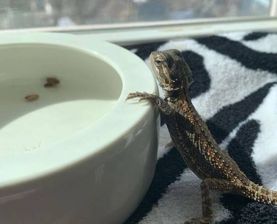 Baby Bearded Dragon Not Eating Crickets