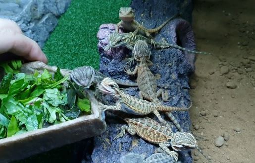 Baby Bearded Dragons Eating