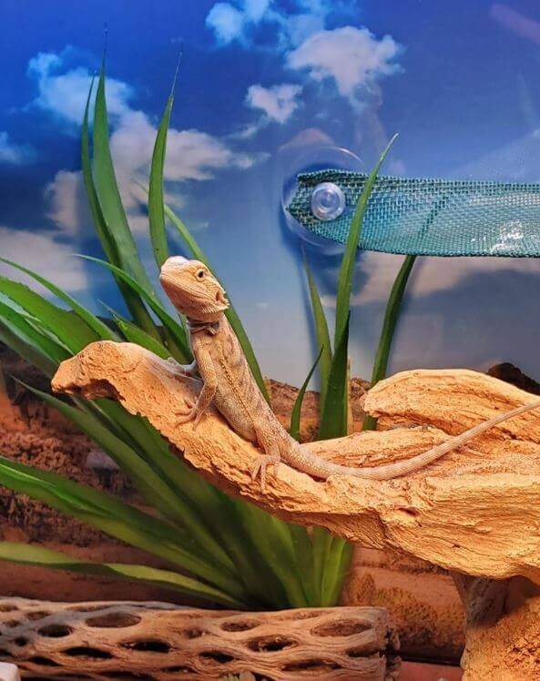Can Bearded Dragons Get High Off Weed