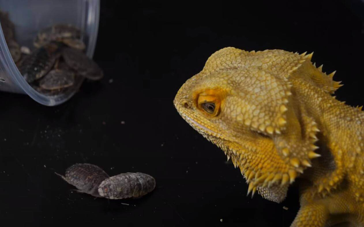 Can My Bearded Dragon Get High