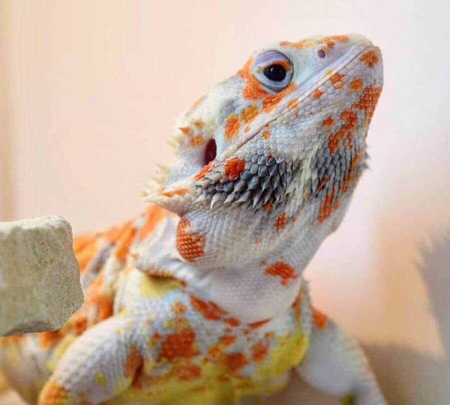 Can You Get Bearded Dragons High