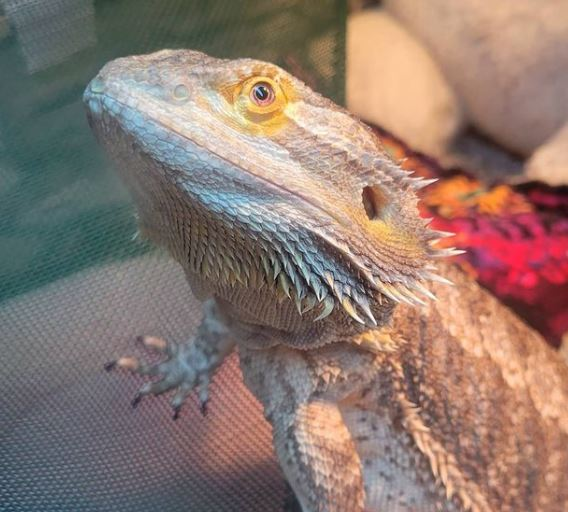 How Can i Tell If My Bearded Dragon Is Happy