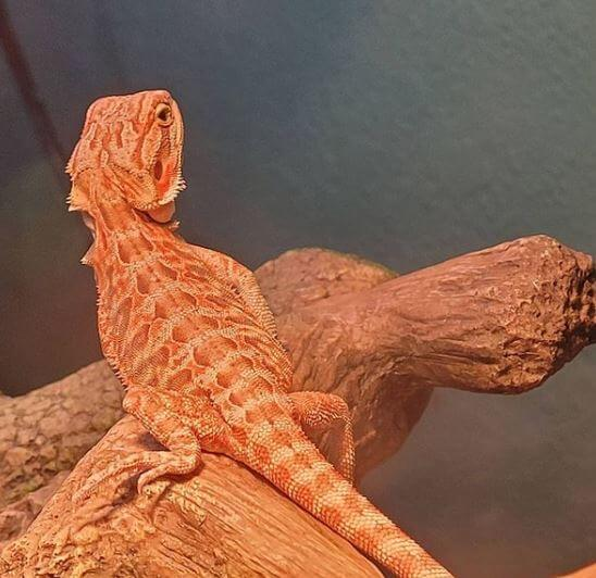 How Much Should I Feed My Baby Bearded Dragon
