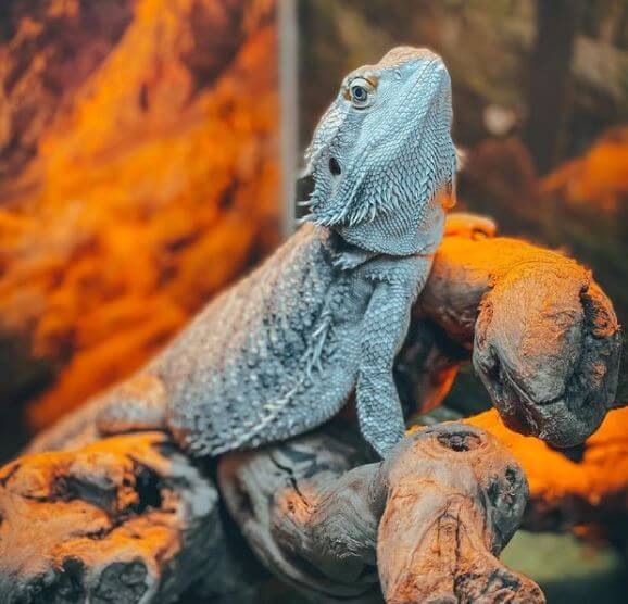 How To Bearded Dragon Proof a Room