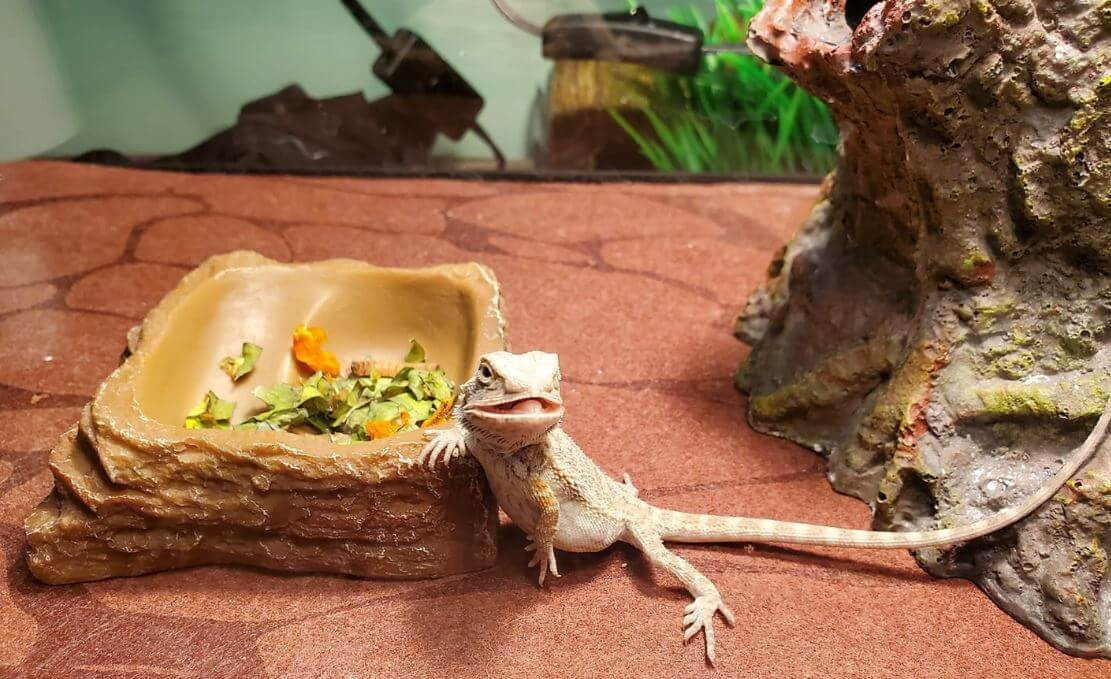 How To Gender a Bearded Dragon