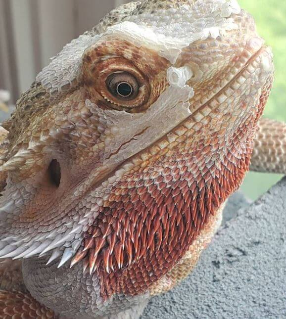 How To Tell If Your Bearded Dragon Is Shedding