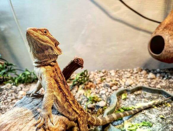 Young Bearded Dragon Diet