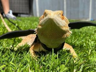 Bearded Dragon Too Cold