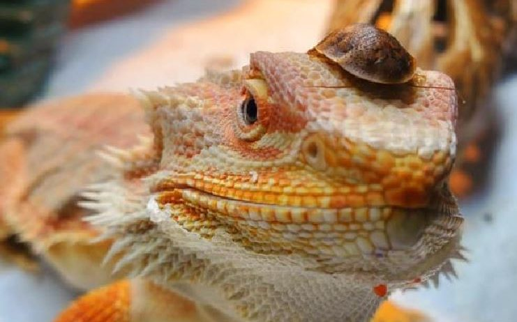 best insects for baby bearded dragons