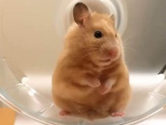 Can i Put My Bearded Dragon In a Hamster Ball