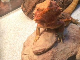 bearded dragon throwing up clear liquid
